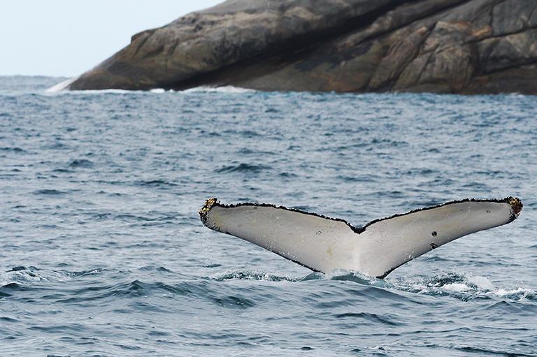 humpback tail 768x511